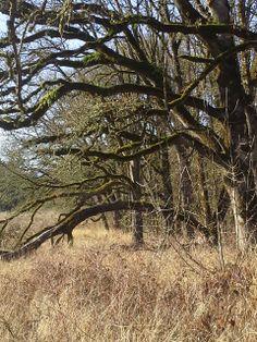 Old oak trees at Graham Oaks Nature Park   Wilsonville, OR