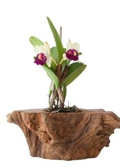 orchids by post