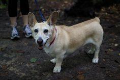 Lab  corgi = one happy pup http://ift.tt/2dr5t05
