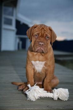 bordeaux dogge http://fc-foto.de/16225608