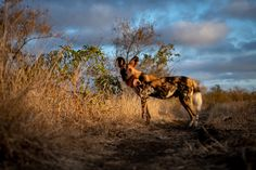 Photograph by Ross Couper Virtual Games, Wild Dogs, Wildlife, Photograph, Animals, Photography, Animais, Fotografie, Animales
