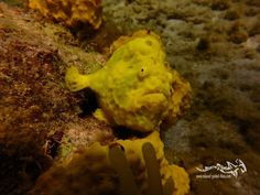 Hey you !!! Stop with social media grab your gear and meet me and the rest of the underwater wonders of Curacao #scuba #relaxedguideddives #fun #curacao #diving #duiken #tauchen  #duikeninbeeld #frogfish
