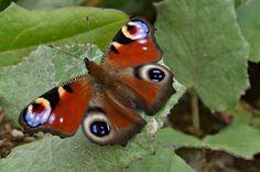 butterfly - Picture taken at Kopaonik National Park-Serbia