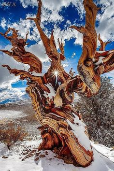 I believe these trees are over 2-3000 years old. Lived during the time of dinosaurs. Bristlecones are found in the White Mountains of California (and elsewhere in the world).