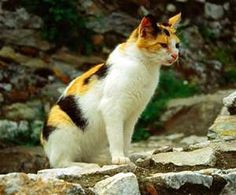 white black orange cats - - Yahoo Image Search Results