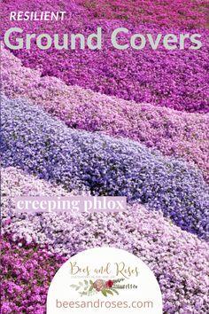 Full Sun Ground Cover, Ground Cover Shade, Low Growing Ground Cover, Flowering Ground Cover Perennials, Perennial Ground Cover, Flowers Perennials, Sun Garden, Shade Garden, Dream Garden