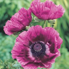 "Patty's Plum Oriental Poppy - 24-36"" tall, blooms late spring to early summer"