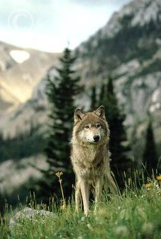 wolf in moutain