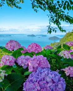 Hydrangea of Mt. Amazing Flowers, Beautiful Flowers, Beautiful Places, Beautiful Landscapes, Beautiful Gardens, Blossom Garden, Hydrangea Garden, Hydrangeas, Flower Aesthetic