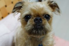 Brussels Griffon - is this also known as the monkey dog?