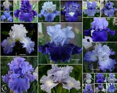 TALL BEARDED IRIS--BLUE FAVORITES FROM THE GARDEN - Sowing the Seeds
