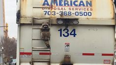 This Raccoon Riding on a Garbage Truck Is the Only Thing in DC That Makes Sense
