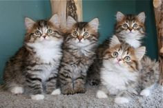 Kitten Album Litter O Siberian Kittens, Album, Animals, Cuddle Cat, Midget Cat, Animales, Animaux, Animal, Animais