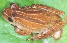 PEREREQUINHA Dendropsophus minutus Instituto Rã-bugio para Conservação da Biodiversidade
