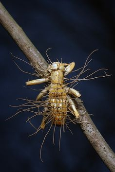 This Carolina leaf-roller (Camptonotus carolinensis) has succumbed to an infection by a species of Cordyceps, a genus of entomopathogenic fungi.  Cordyceps are well-known for inducing changes in insect behaviour, making them climb plants before they die. When the fruiting bodies burst forth from the insect, this high position helps spread the fungal spores to new victims.