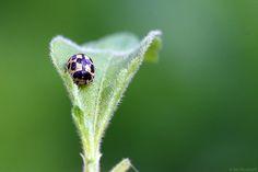 Fourteen-spot Ladybird - (Propylea 14-punctata)