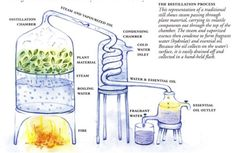 Distillation of Perfume (process of making pure essential oil)