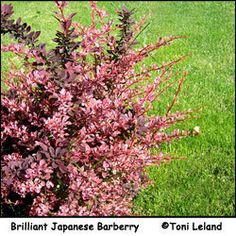 For many of us, it's not too soon to be thinking about planting shrubs when the ground warms up. For the homeowner with a small piece of land or condo plot, or the gardener who wishes to spend more...