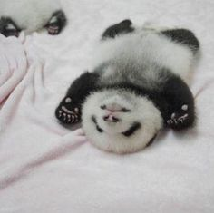 When you eat way too much Panda Express Baby Animals Super Cute, Cute Little Animals, Cute Funny Animals, Baby Animals Pictures, Cute Animal Pictures, Animals And Pets, Panda Love, Cute Panda, Panda Panda