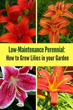 to Plant and Grow Lilies Learn how to grow lilies in your yard! The lily flower is a low-maintenance perennial that's very easy to care for!Learn how to grow lilies in your yard! The lily flower is a low-maintenance perennial that's very easy to care for! Growing Lillies, Growing Flowers, Planting Flowers, Flowering Plants, Flower Gardening, Flowers Garden, Lilly Plants, Lilly Garden, Lily Care