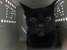 +++ SUPER #URGENT !! +++   2 B DESTROYED 2day Nov./3/2014  @ High- #KillShelter in #Manhattan Center #NYC #USA   >> PLEEZ HELP 2 SAFE A LIFE BY #ADOPTION or #SPREADING DA NEWZ << ♡♡♡ #WLF  My name is SNUGGLES. My Animal ID # is A1018267. I am a female black and white domestic sh mix. The shelter thinks I am about 1 YEAR 1 MONTH old.  I came in the shelter as a STRAY on 10/21/2014 from NY 10457, owner surrender reason stated was STRAY.  MOST RECENT MEDICAL INFORMATION AND WEIGHT 11/02/2014…