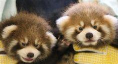 レッサーパンダ風太の孫 10月にも一般公開へ    To the public in October grandson of Futa Red Panda