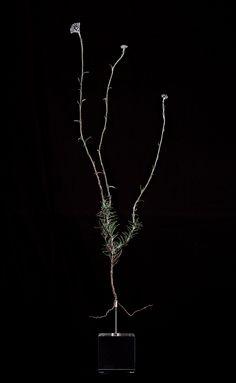 Nic Bladen / Helichrysum dasyanthum / sterling silver & bronze / 50cm