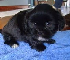 Resultado de imagem para lhasa preto Dogs With Big Eyes, Cute Little Dogs, Lhasa Apso, Shih Tzus, Animals And Pets, Puppies, Google Search, Pets, Cubs