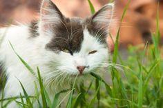 Pra quem não tem jardim ou mora em apartamento, é possível fazer um espaço de grama para o gatinho comer. Fonte: CachorroGato @ http://www.cachorrogato.com.br/gato/grama-para-gatos/
