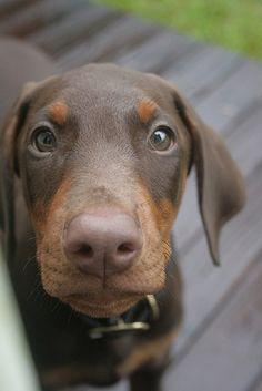 Red Doberman Puppy