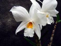 Dendrobium infundibulum Lindley