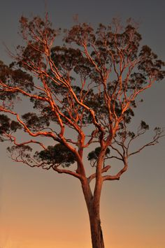 Beautiful Goldfields gum tree.  This glows in the afternoon sunlight. I miss seeing it so much it brings tears to my eyes.