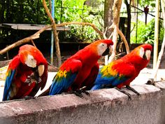 THESE THREE MACAW PARROTS FROM THE AMAZON WERE FOUND IN THE GEORGETOWN ZOO IN GUYANA. THEY HAD A RANGE OF ANIMALS THAT WEREN'T VERY HAPPY
