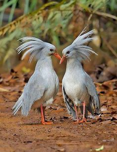 The kagu or cagou (Rhynochetos jubatus) is a crested, long-legged, and bluish-grey bird endemic to the dense mountain forests of New Caledonia. It is the only surviving member of the genus Rhynochetos and the family Rhynochetidae, although a second species has been described from the fossil record. Measuring 55 cm (22 in) in length, it has pale grey plumage and bright red legs. Its 'nasal corns' are a unique feature not shared with any other bird. It is almost flightless.