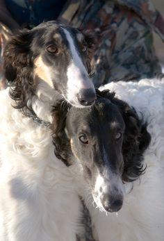 Portrait of two borzois. #borzoi #dogs #Russian