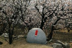 Cherry blossoms outside a village house in Huangdao district, Qingdao city, Shandong province, March 26, 2015 http://www.chinatraveltourismnews.com/2015/04/cherry-trees-in-blossom-in-shandong.html