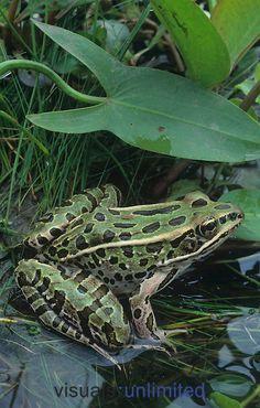 Northern Leopard Frog. (Rana pipiens) by Gary Meszaros Grenouille léopard. (Lithobates pipiens). Elle se rencontre partout en Amérique du Nord. Elle vit dans une grande variété d'habitats souvent éloignés de l'eau. Cependant elle se reproduit dans des eaux calmes peu profondes,  dans des espaces ouverts. Ils hibernent sous terre ou dans des mares. Elle est diurne et nocturne et mesure de 5 â 11 cm. Guide nature Larousse.