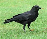 American crow, 2/25/13