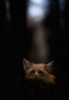 Fox, Kai Fagerström, National Geographic
