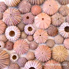 HOW TO: Clean sea urchins with video tutorial {iLoveShelling.com}