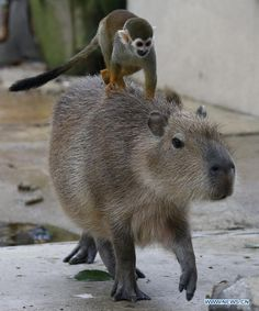 Animals Sitting on Capybaras. Looks like it really does have a monkey on its back! (I'm sorry, I know it's a bad pun, but I had to say it!)