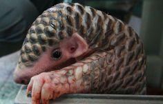 Baby Pangolins Are The World's Cutest Artichokes (10+ Pics) | Bored Panda