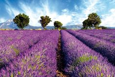 Lavender around Grasse, capital city of parfume