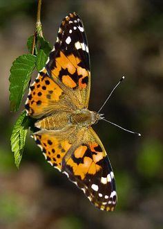 Painted Lady by Jason King