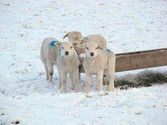 Texel daily image - new born lamb - © Marlon Paul Bruin