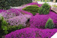 Moor - Wrzosowisko to piękny element naturalnego krajobrazu - warto urządzić je we własnym ogrodzie. Jednak uwaga, roślin nie wolno wykopywać z lasu! Kupujmy je w sklepach ogrodniczych.