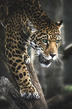 — Valerio is such a stalker. Jaguar photo by Paul. Animal Jaguar, Jaguar Leopard, Cheetah, Big Cats, Cats And Kittens, Cute Cats, Nature Animals, Animals And Pets, Cute Animals
