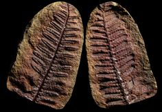 A-Gorgeous-RED-Pecopteris-Fern-Plant-Fossil-Mazon-Creek-Specimen-Fossil