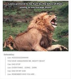 Lions pretend to be hurt by the bites of their young to encourage them.