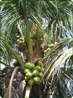 coqueiro carregado de cocos